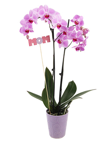 Fiona 'Mom' Premium Mother's Day Orchid