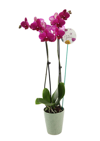 Fiona 'For You' Premium Mother's Day Orchid (White Pot)