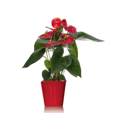 Classic Red Anthurium