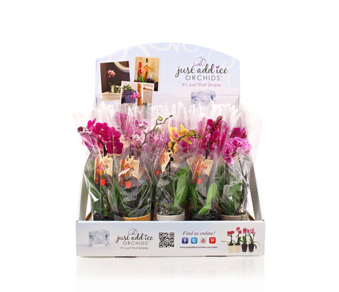 Flower Shop in a Box™ Bulk Mini Orchids for purchase