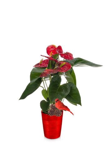 Holiday Anthurium