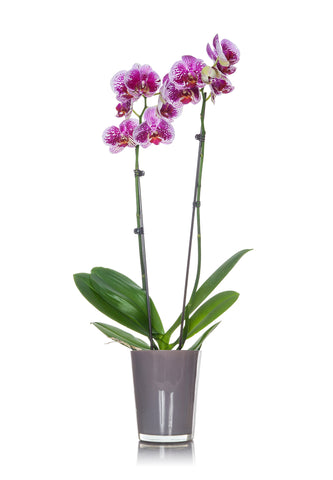 Classic Natural Orchid