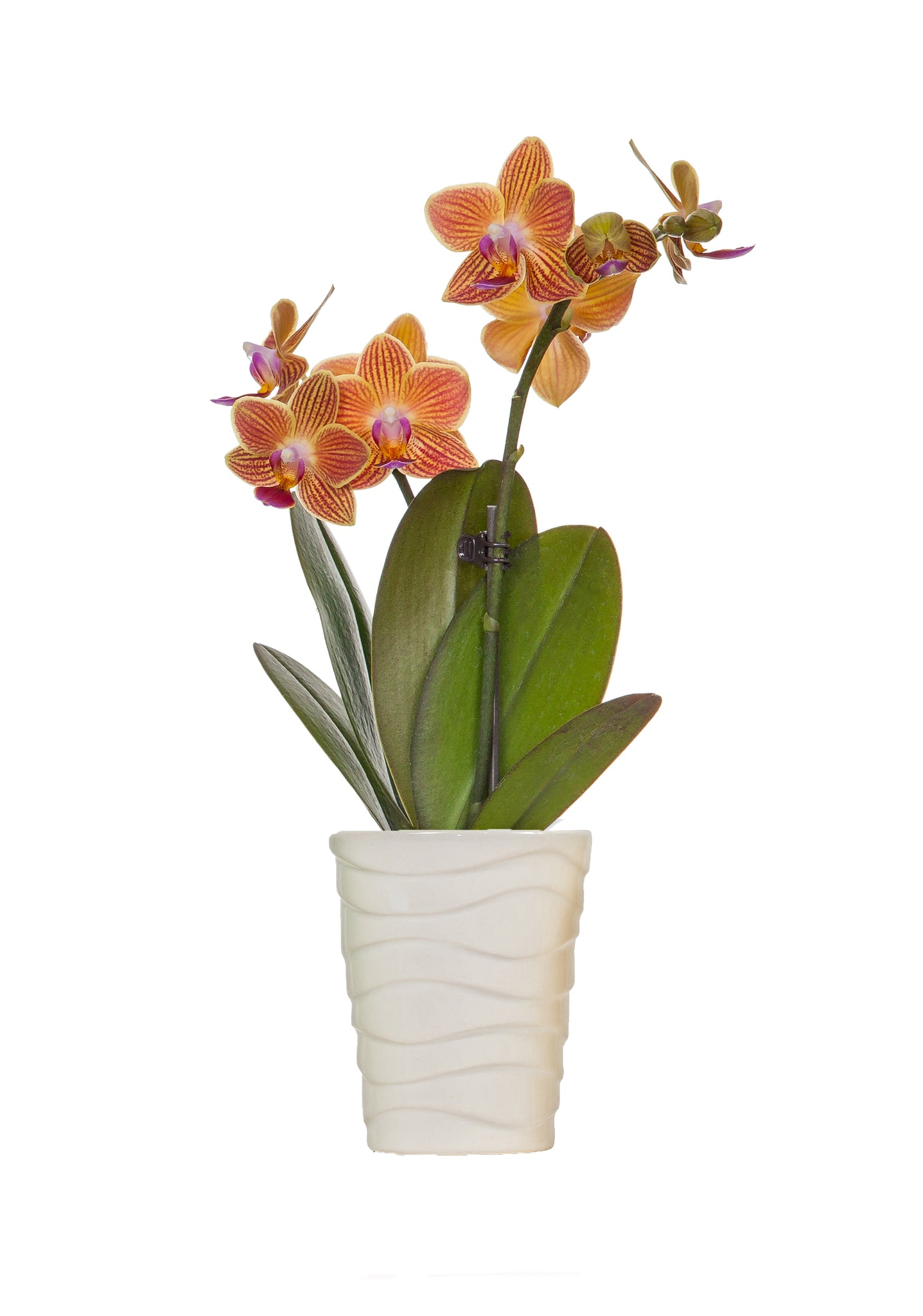 High Tide Mini Coral Orchid Just Add Ice