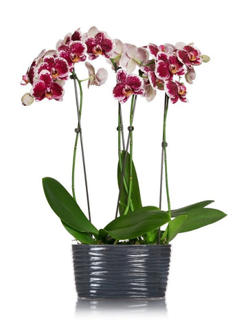 Elegant Grey Orchid planter