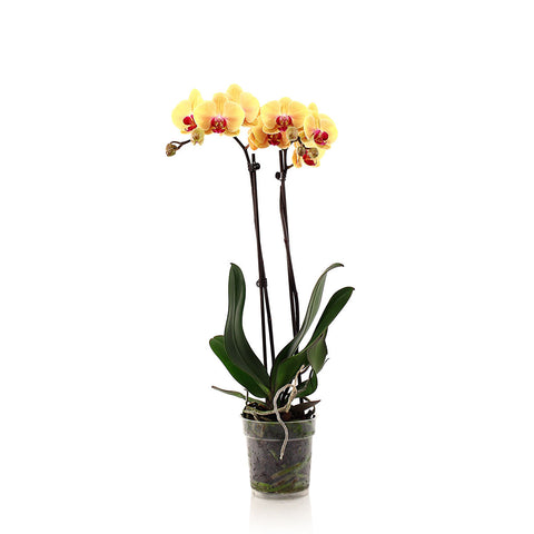 Phalaenopsis Grower Pot Orchid