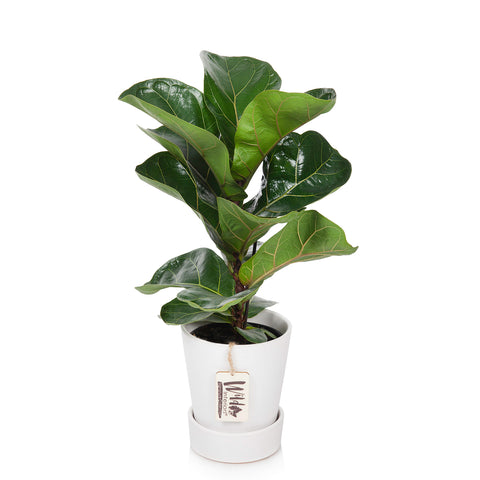 "5"" Fiddle Leaf Fig"