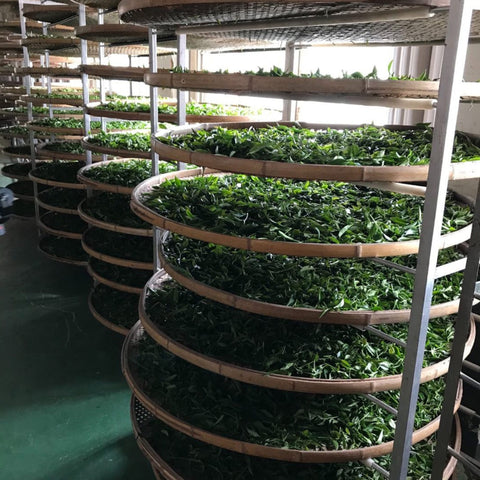 Tea leaves destined to become Tieguanyin