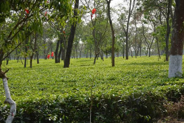 The Doke Tea Estate