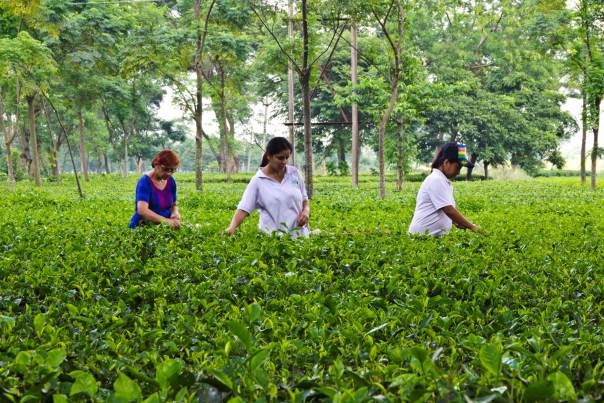 Family and friends of Rajiv Lochan plucking tea leaves