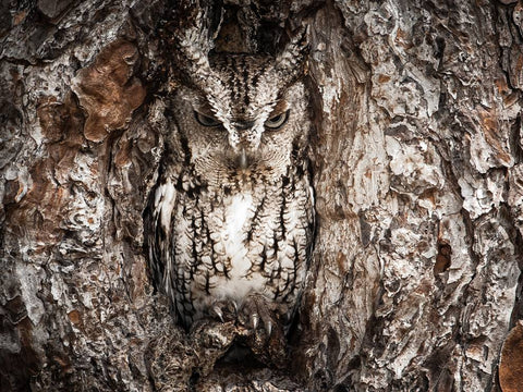 FAZE Apparel - Fearless Pic of the Week - Graham McGeorge - Camouflage - Owl - Wildlife - Masters of Adaptation - 1