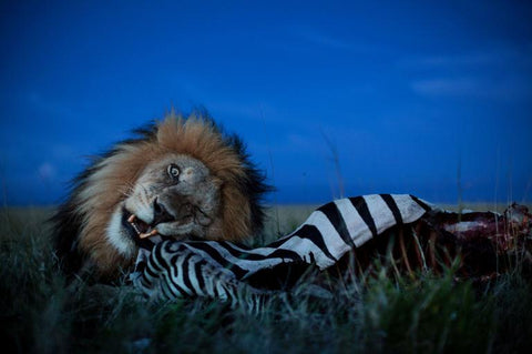 FAZE Apparel - Fearless Pic of the Week - Michael Nichols - Photographer - National Geographic - Chow Time - Lion - 1