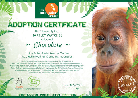 Chocolate Orangutan Hartley Watches Adoption