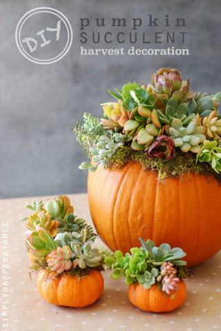 Pumpkin and Succulents