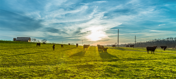The Importance of Herding - What to be looking out for when going through your cattle?