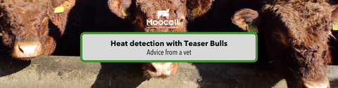 Advice on teaser bulls by vet Conor Melvin