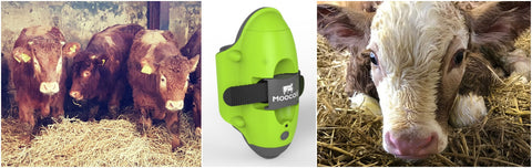 How many Moocall calving sensors do you need? How to use our cost/benefit analysis