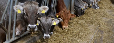 Feeding cows or heifers at night to offset to a daytime calving