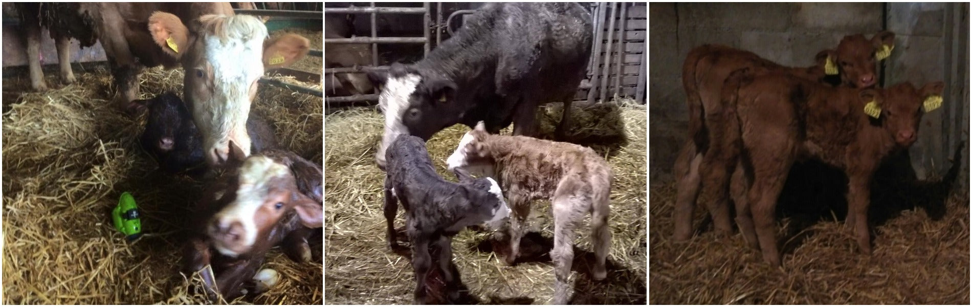 Twin Calves - what to expect when you're expecting
