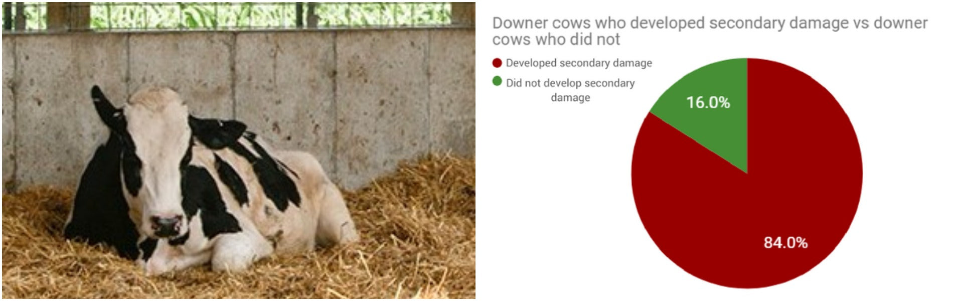 Downers - cows who can't stand up