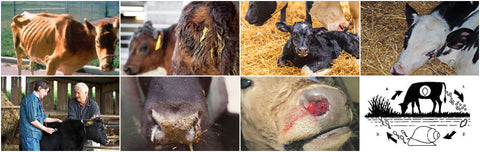 Diseases to look out for at calving season