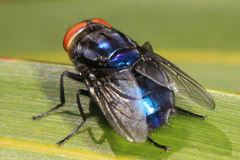 Cochliomyia hominivorax, the New World screw-worm fly, or screw-worm for short