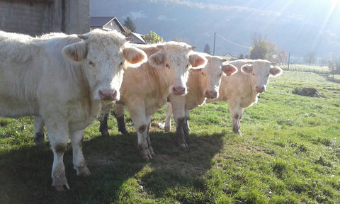 four blonde cattle looking into camera
