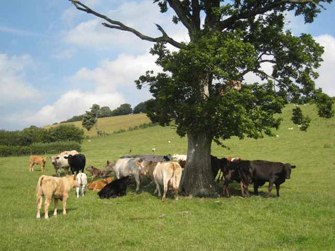 Field with cattle on a sunny day seeking shade under a tree by moocall