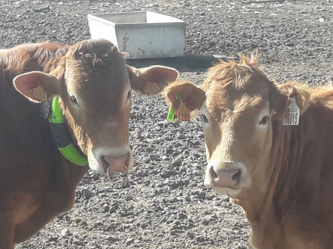 Vasectomised bull and heifer wearing a moocall heat collar and moocall RFID tag
