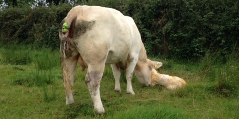 Moocall on a calved cow