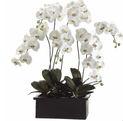 Phalaenopsis Orchid Plant in Terra Cotta Pot - 42""