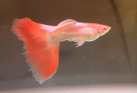 Sky Blue Albino Fire Tail Guppy Trio