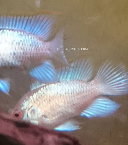 Electric Blue Acara - 1 to 2 inch