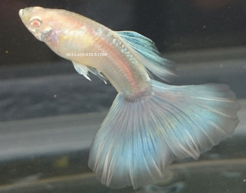 Sky Blue Albino Guppy Trio