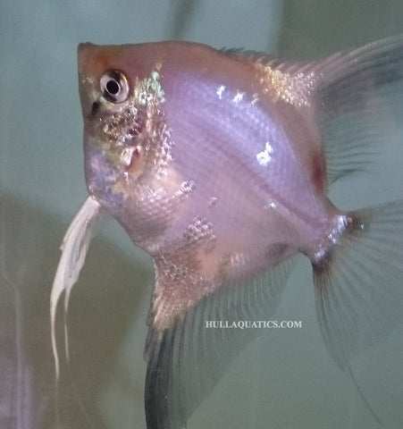 Paraiba Angelfish - Quarter Size