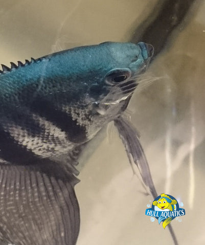 Philippine Blue Angelfish
