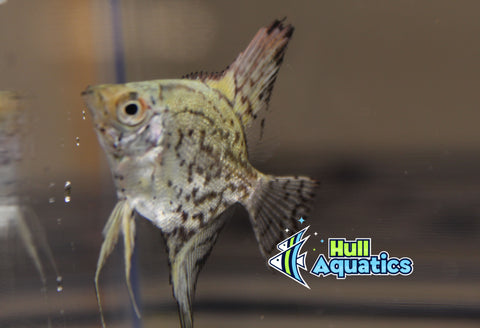 Philippine Blue Leopard Angelfish - Quarter Size (1 Fish)