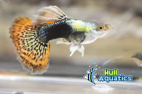 Red Dragon Dumbo Ear Guppy Pair