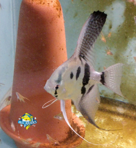 Phillipine Blue Ghost Angelfish - Quarter Size