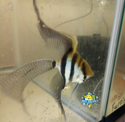Silver Veil Angelfish - Quarter Size