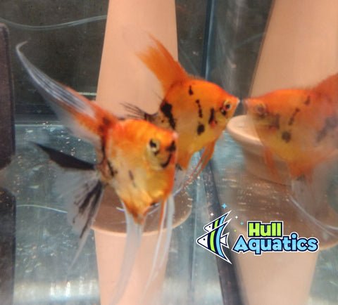 Ultimate High Coverage KOI Angelfish - Dime Size (3 Fish)