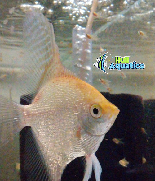 Sunset Pearlscale Angelfish - Dime Size (3 Fish) – Hull ...