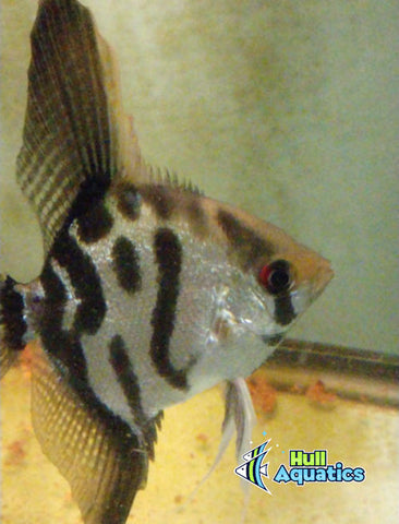 Clown Angelfish - Dime Size (1 Fish)