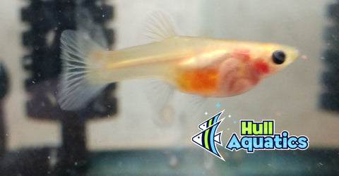 Blond Body Glass Belly Guppy Young (6)