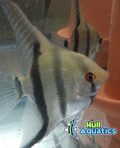 Silver Angelfish - Quarter Size