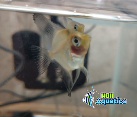 Blue Blushing Angelfish - Dime Size (3 Fish)