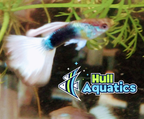 Half-Black Pastel Guppy Trio