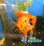 High Coverage KOI Angelfish - Quarter Size (1 Fish)