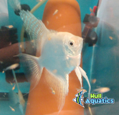 PB Platinum Angelfish Quarter Sized (1 Fish)