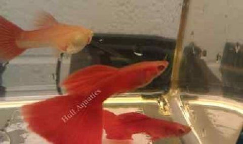 Red Albino Guppy Young - 6 Pack