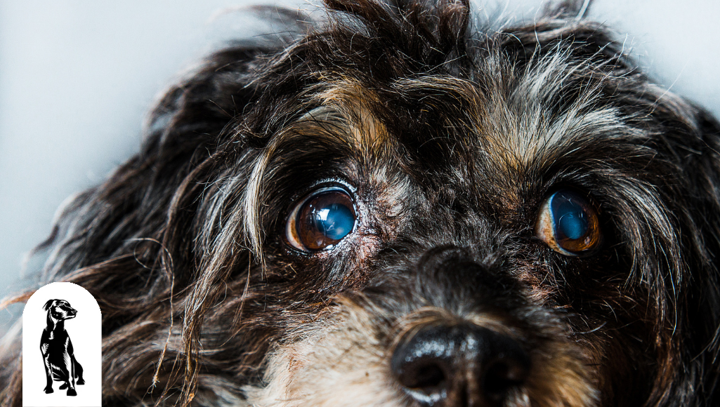 Cataracts in Dogs: Is It Possible?